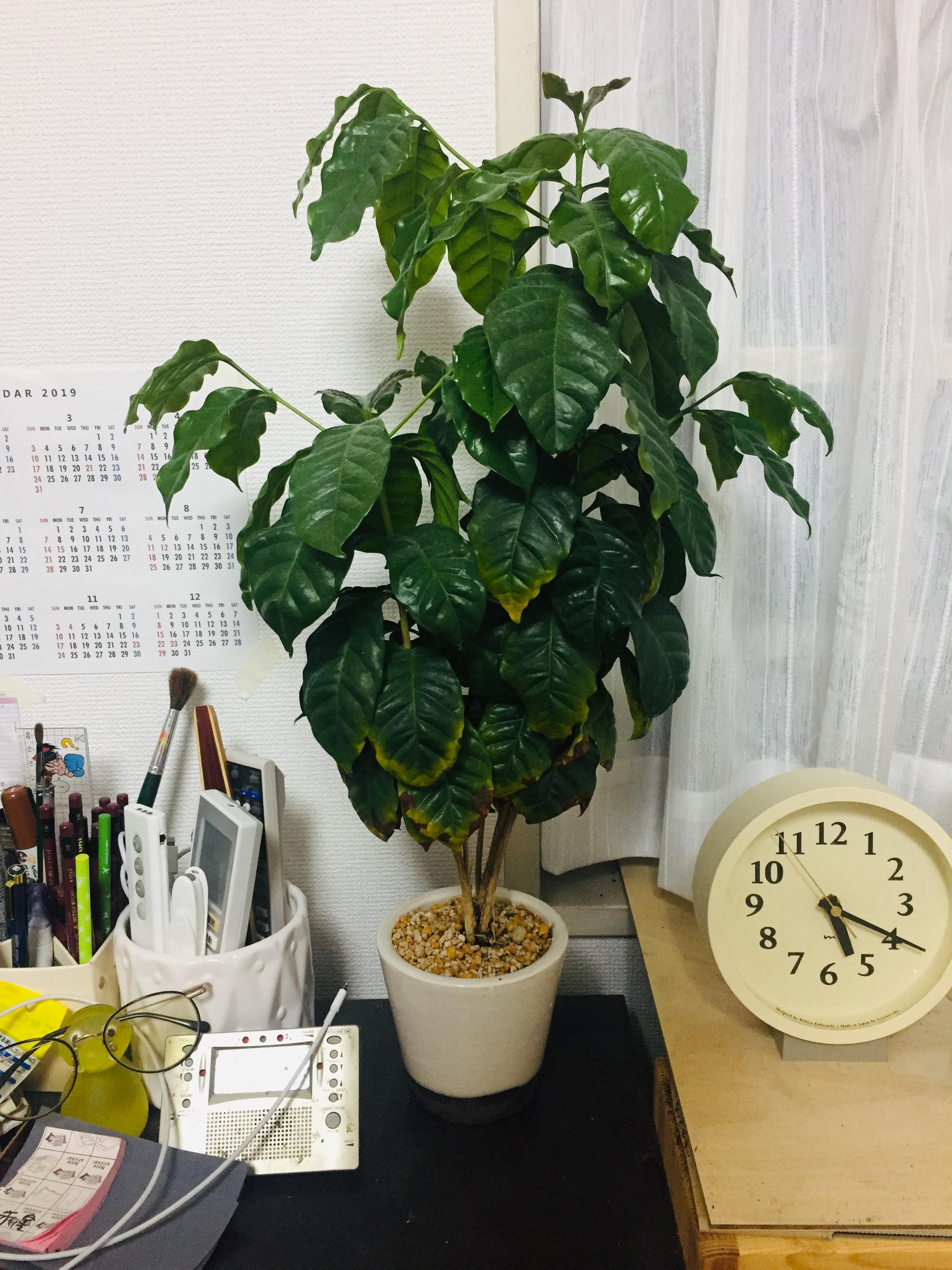 コーヒーの木の植え替え